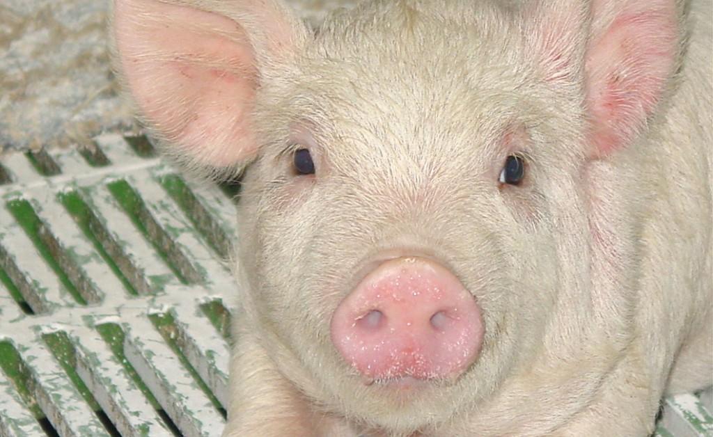 山形ピッグファームにいる豚