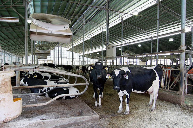 箸荷牧場の牛舎