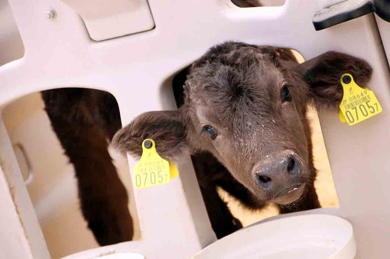 箸荷牧場にいる子牛