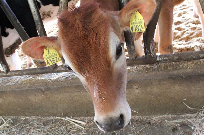 宇畑牧場のジャージー牛