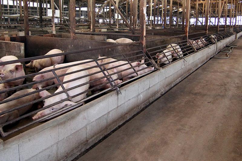 板野養豚の豚舎