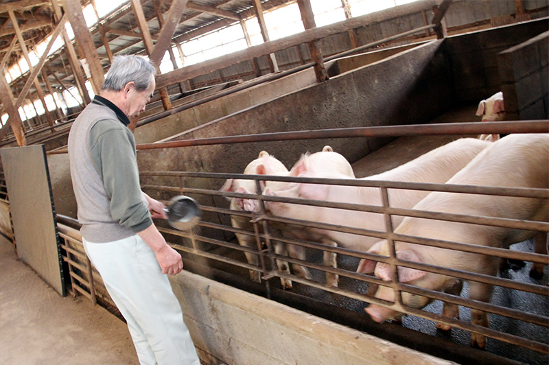 板野養豚にいる豚に餌をあげる坂野さん