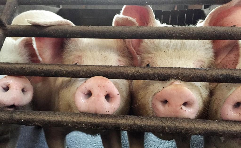 板野養豚にいる豚