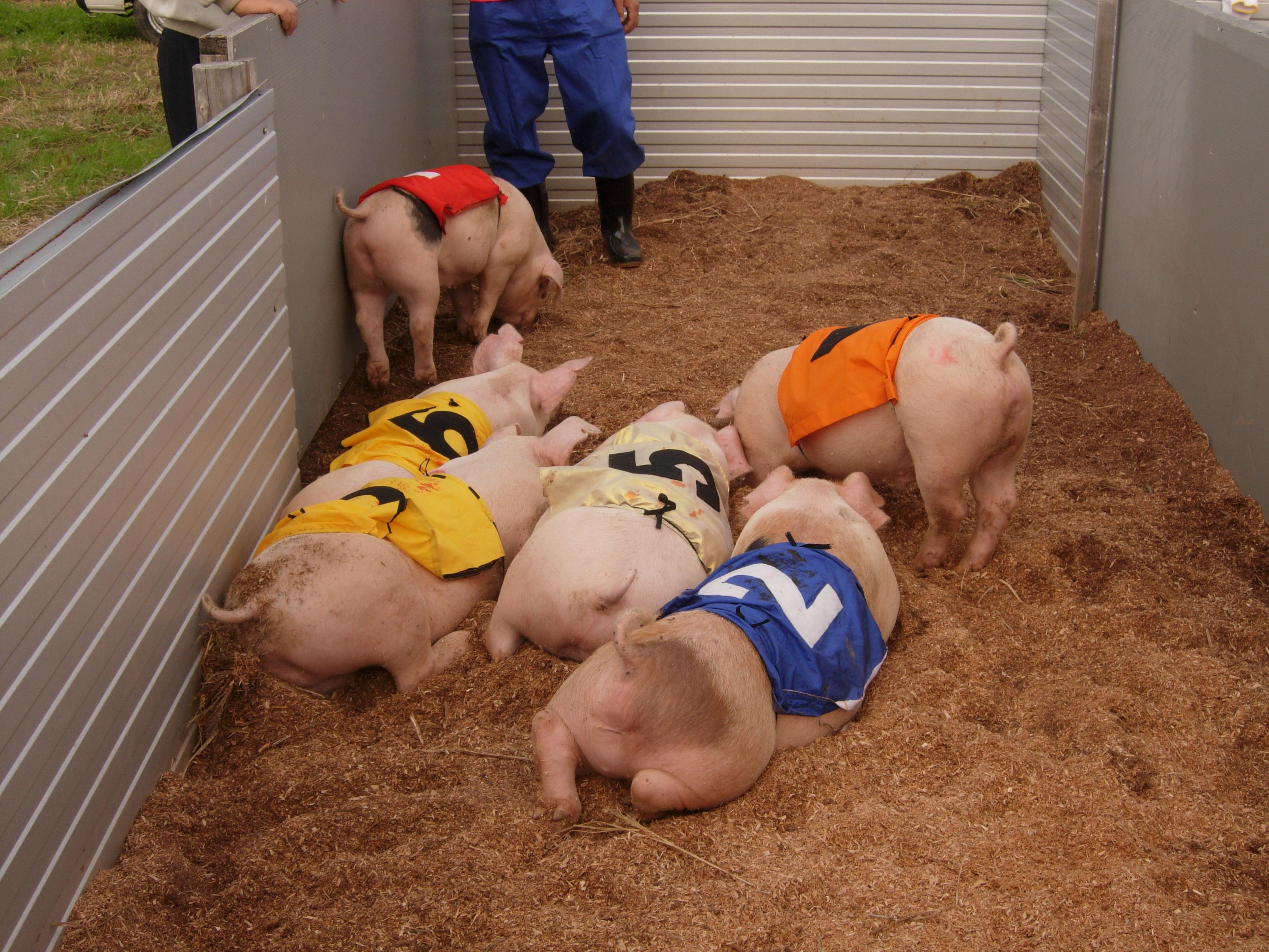 豚とんレースに参加する子豚
