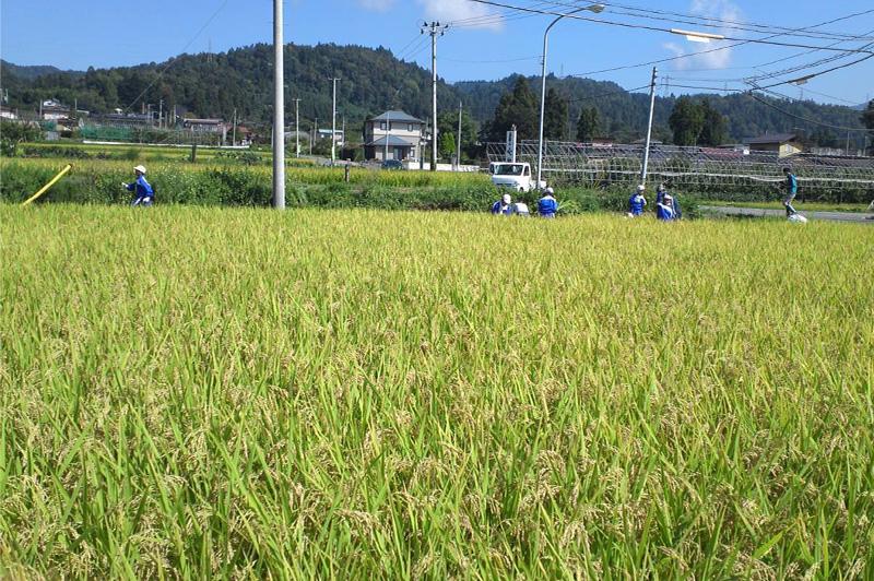 飼料用米「ふくひびき」を育てている山辺町の田んぼ