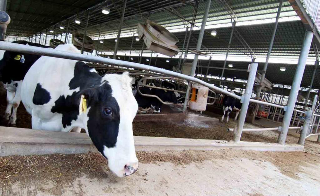 箸荷牧場の牛