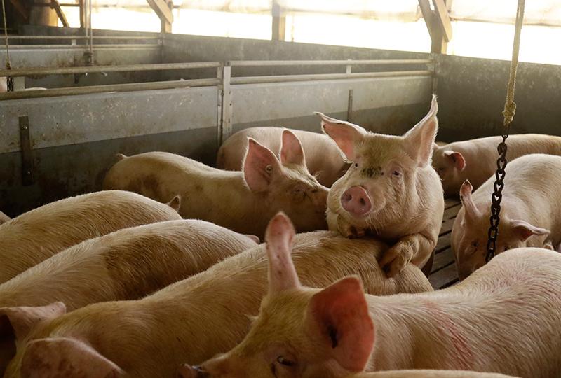 有限会社キープクリーンの豚