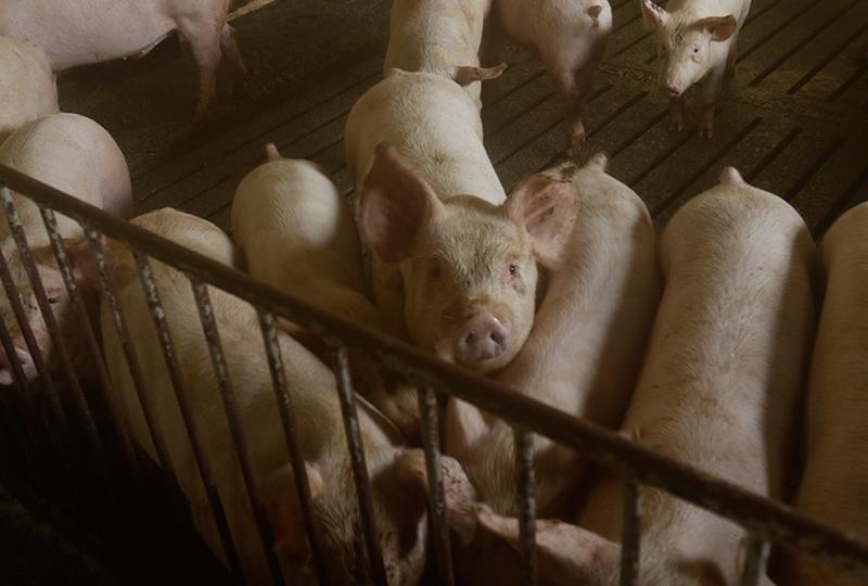 有限会社キープクリーンにいる豚