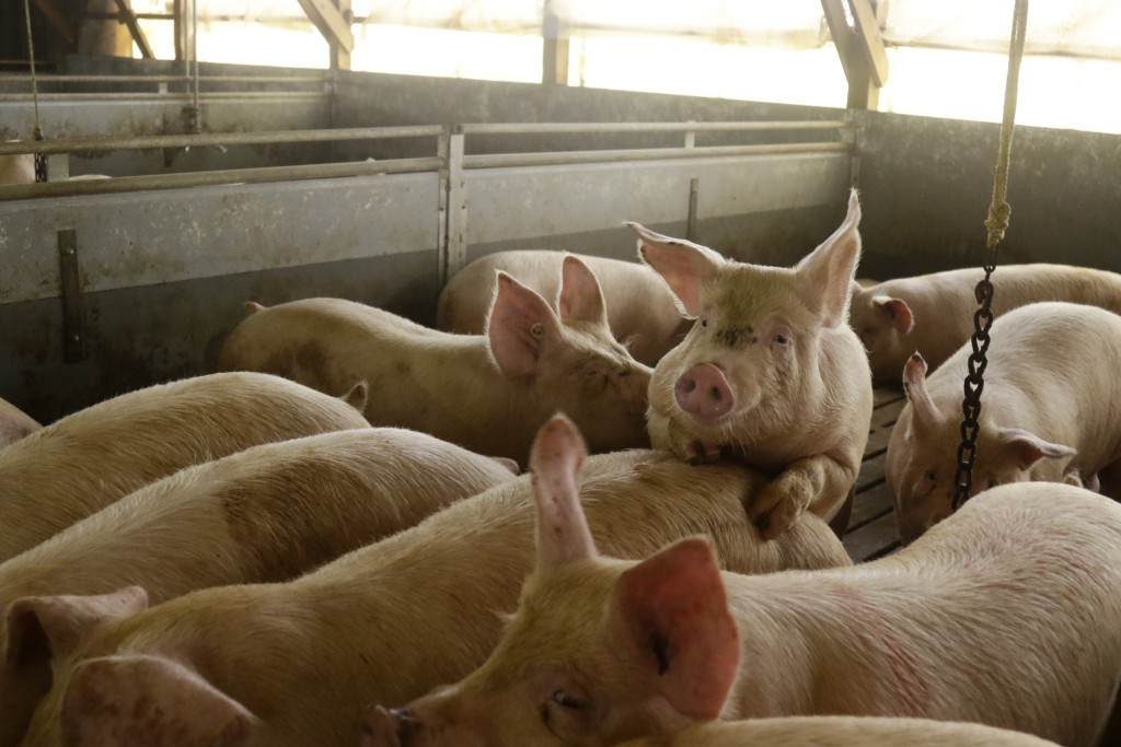 しろねポークの豚