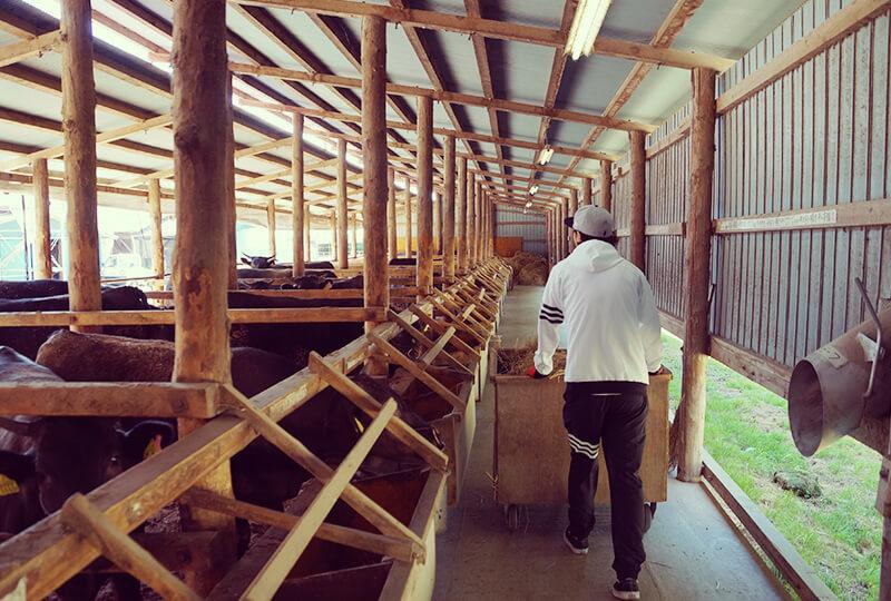 川村ファームの牛舎