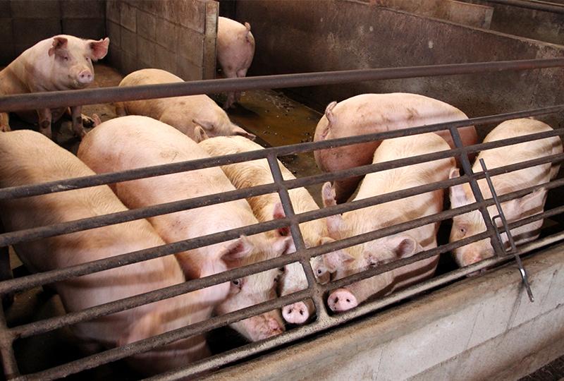 板野養豚の飼育風景