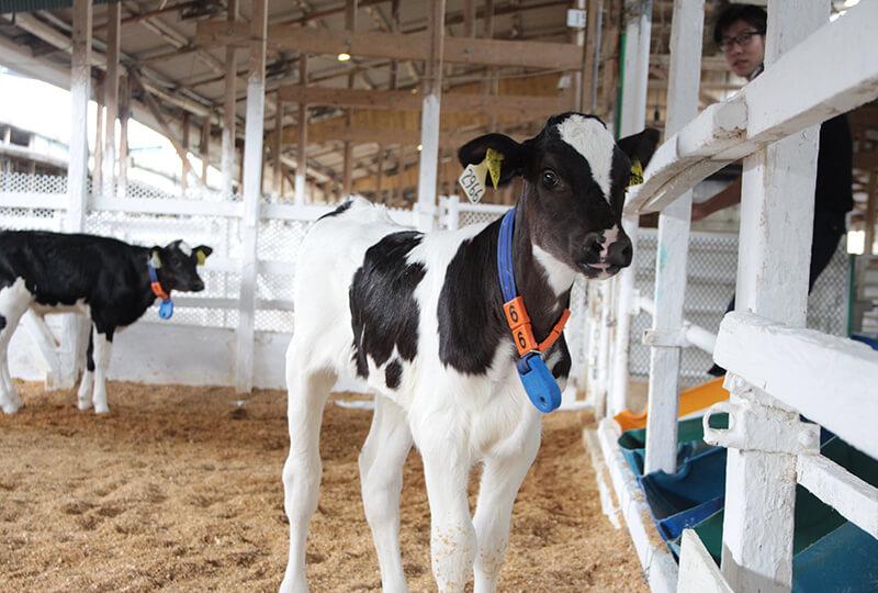 牛舎内にいる牛