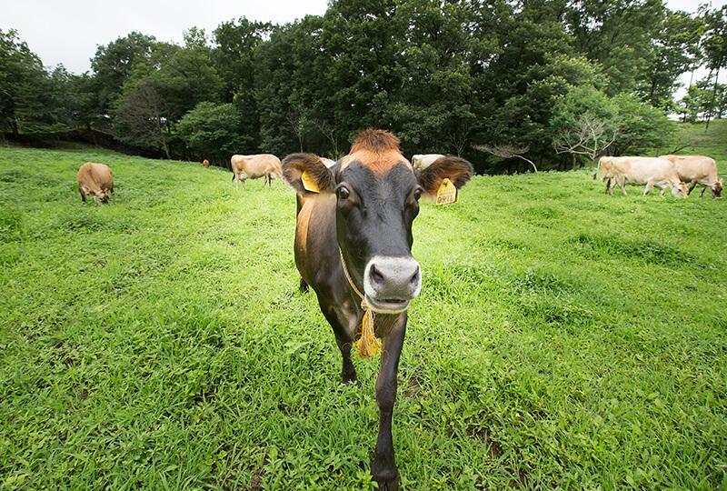 森林ノ牧場で放牧されてる牛