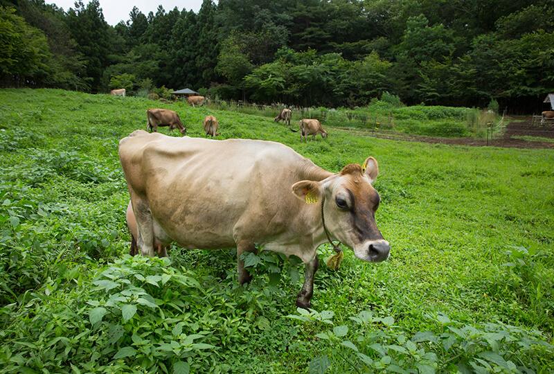 森林ノ牧場の牛