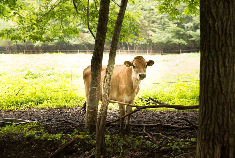 森林ノ牧場のジャージー牛
