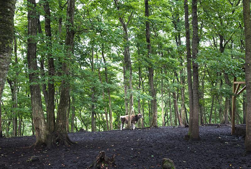 森林にいる牛