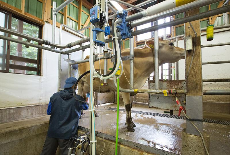 搾乳中の森林ノ牧場のジャージー牛