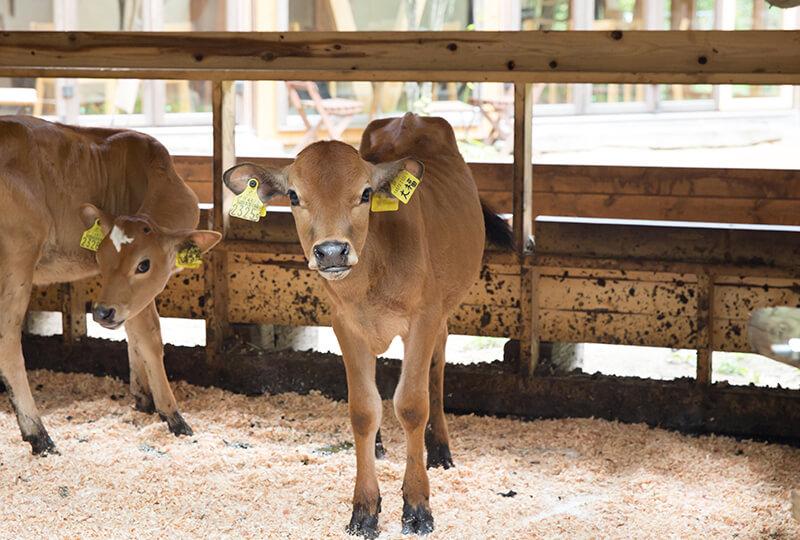かわいい森林ノ牧場のジャージー牛