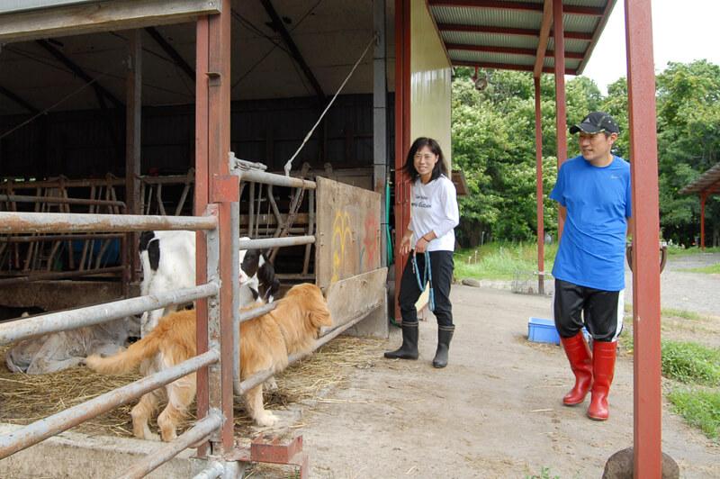 牛舎にいる牛とジュン君と清水さんご夫妻