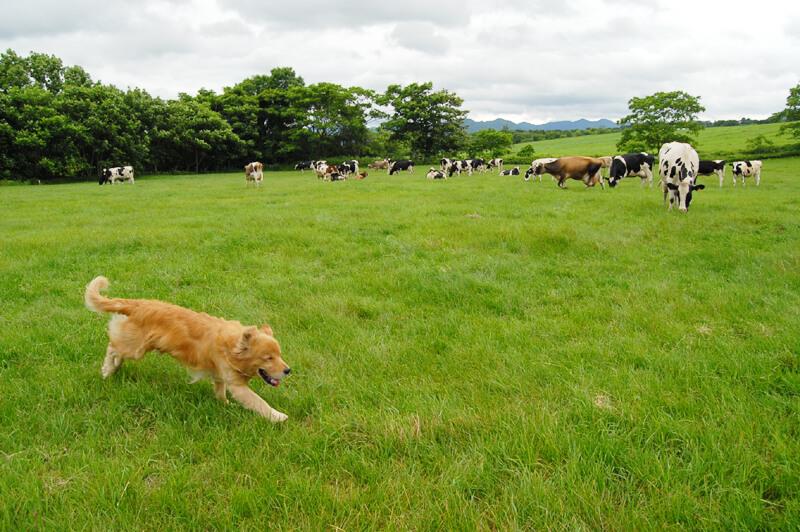シミズデイリーファームのジュン君と牛たち