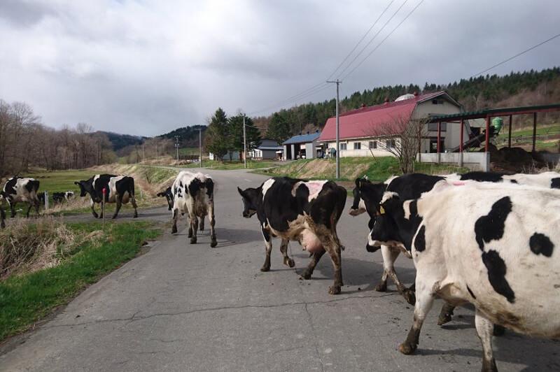 移動中のましこ牧場の牛