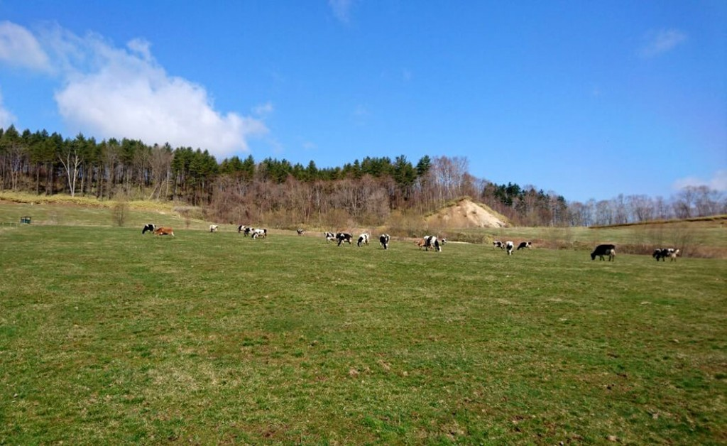 放牧されているましこ牧場の牛