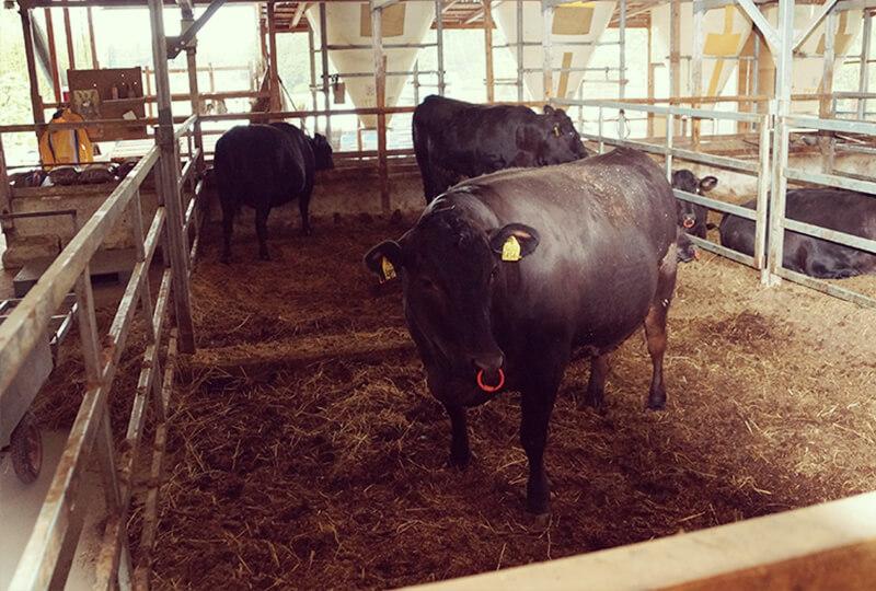 加藤牧場にいる牛