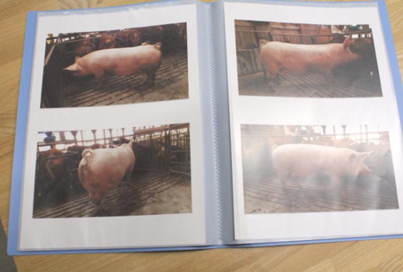在田農場にいた豚の写真