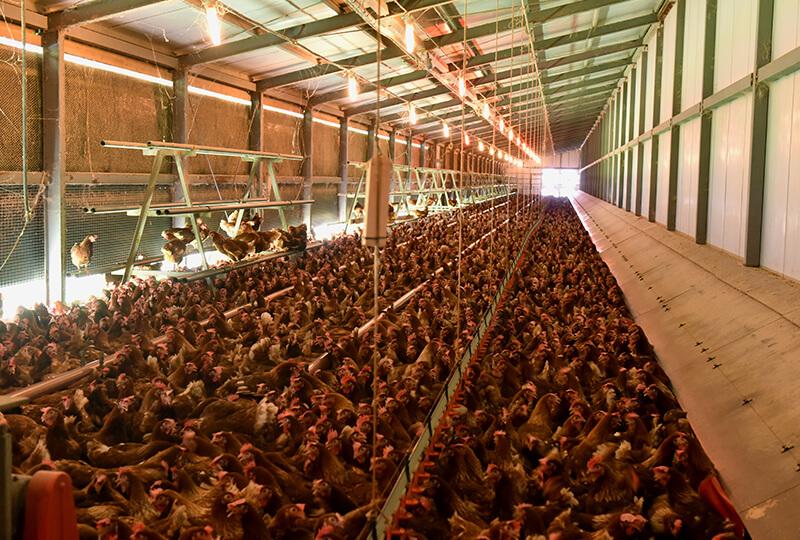 倉持産業で平飼いされてる鶏
