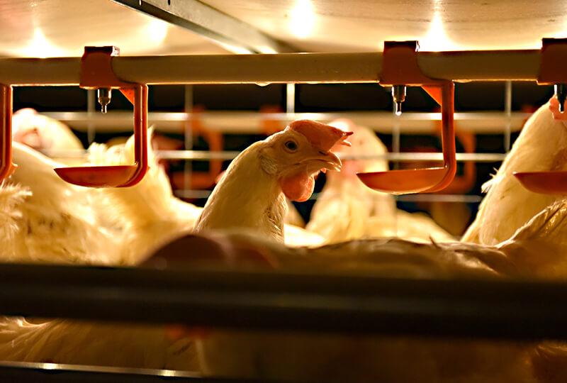 倉持産業の鶏