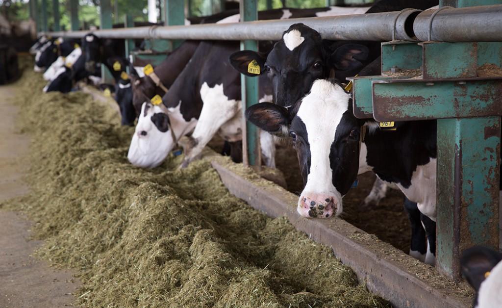 今牧場で餌を食べる牛たち