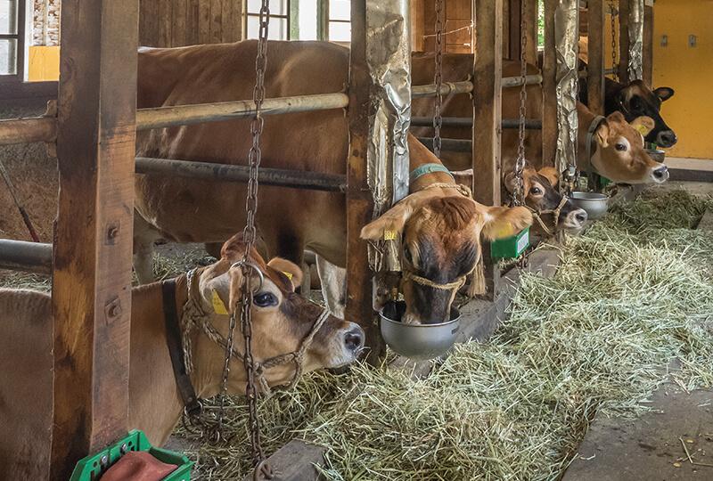 牧草を食べる金子ファームの牛