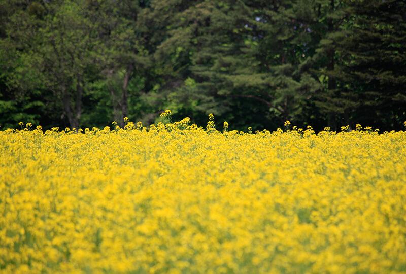金子ファームで栽培中の菜の花