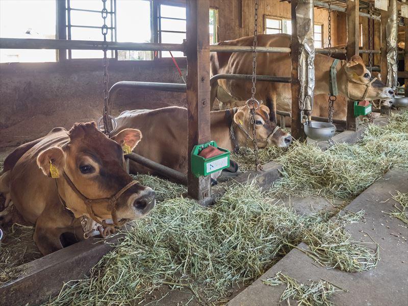 金子ファームのジャージー牛