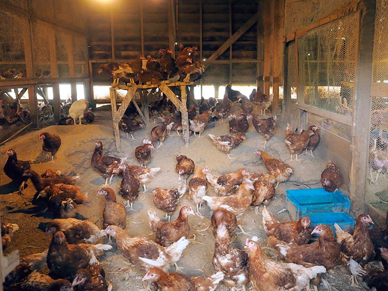 カヤニファームの養鶏場
