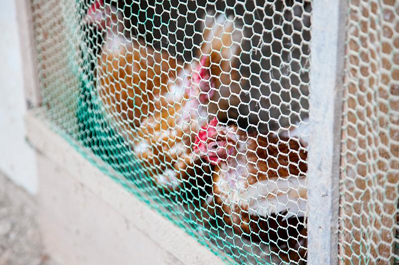 カヤニファームにいる鶏