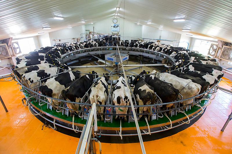 ドリームヒルにいる牛
