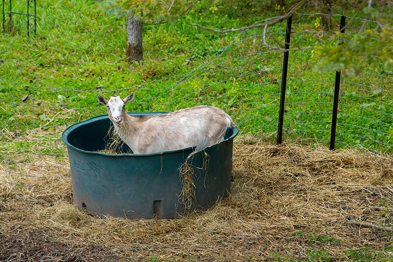 十勝しんむら牧場のヤギ