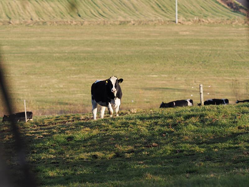 十勝しんむら牧場の牛