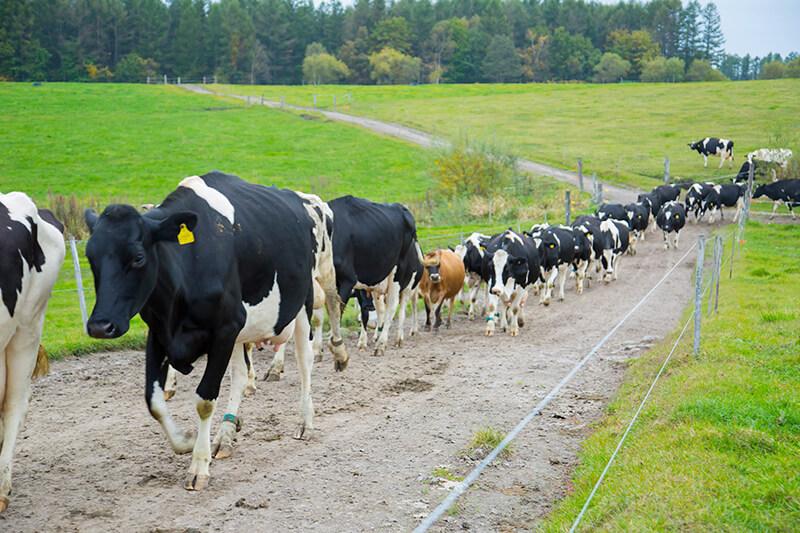 十勝しんむら牧場の一列に並んで歩く牛たち