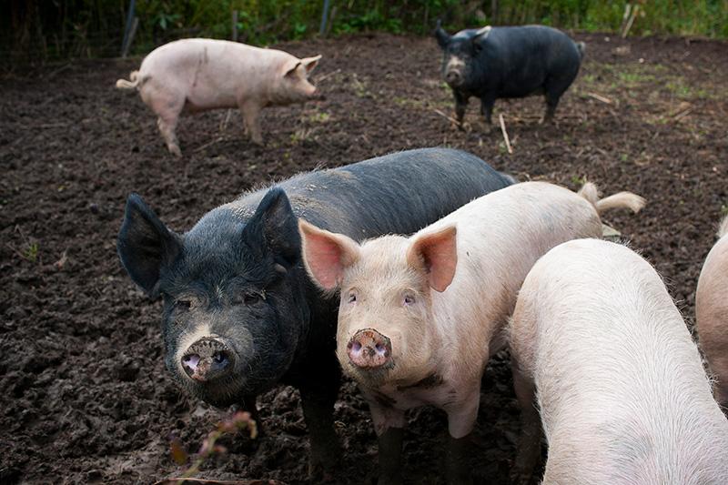 久世牧場にいるホエー豚
