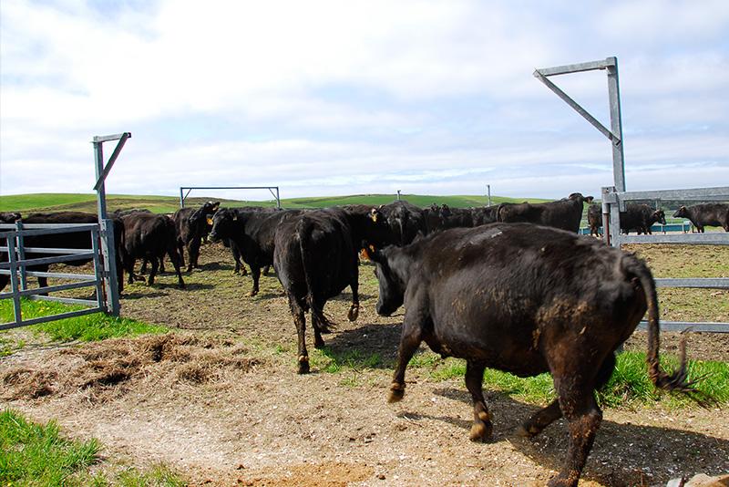 宗谷岬牧場にいる沢山の牛