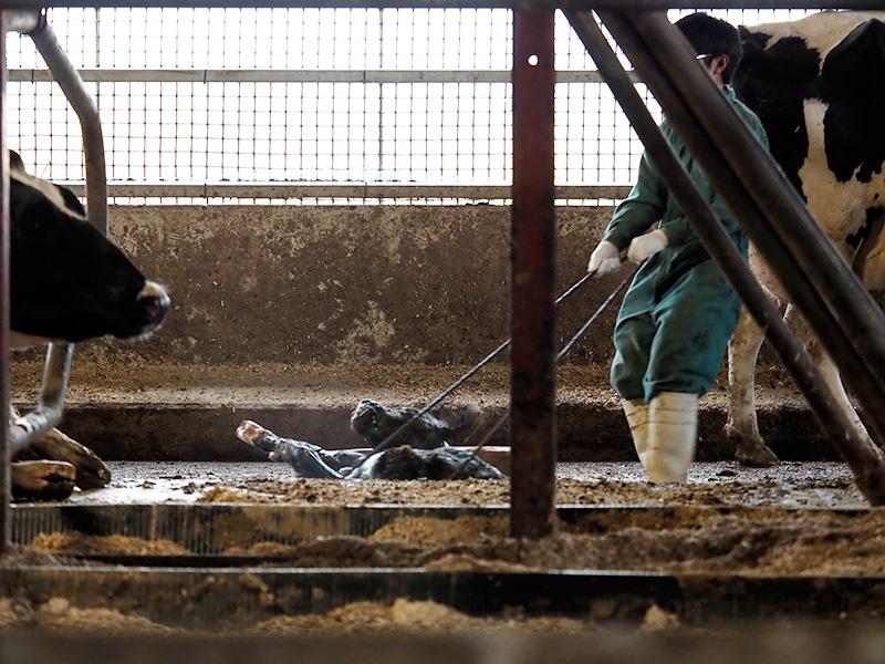 宗谷岬牧場にいる牛