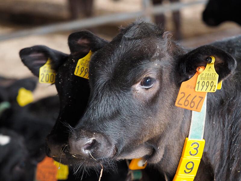 宗谷岬牧場の牛