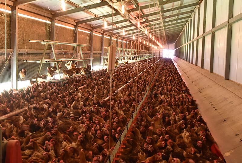 倉持産業で平飼い飼育されてる鶏達