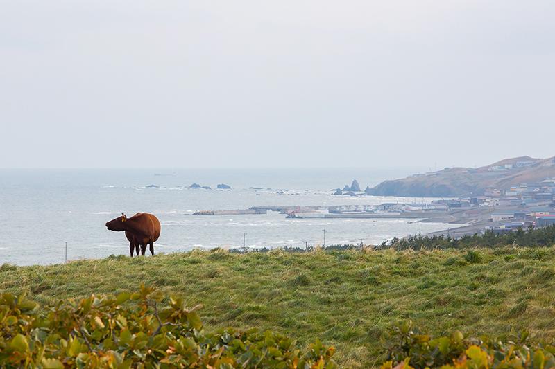 放牧されている高橋ファームの短角牛