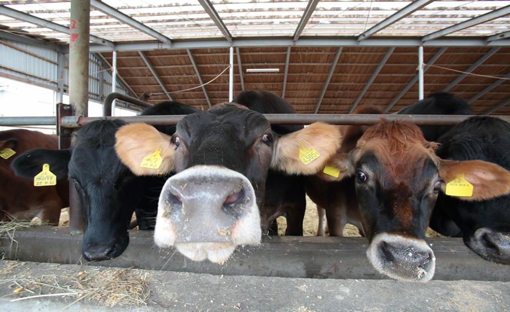 ジェイファームシマザキにいる牛たち