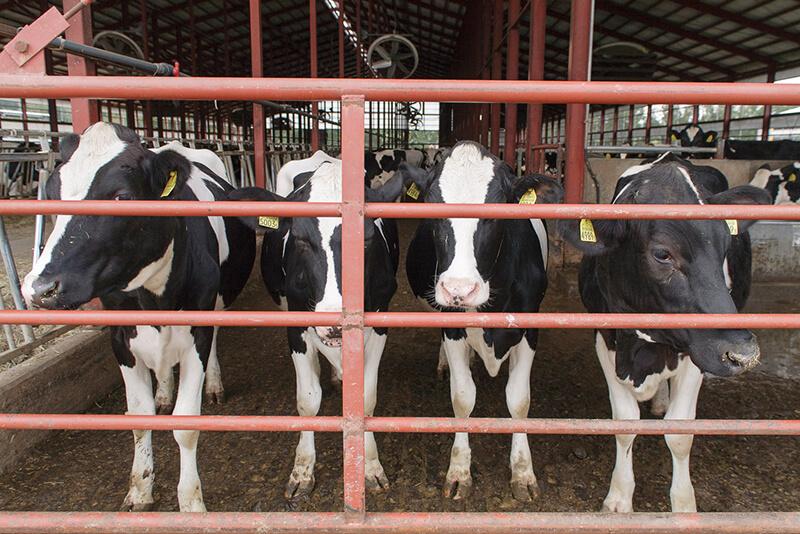 藤井牧場の牛舎にいる牛