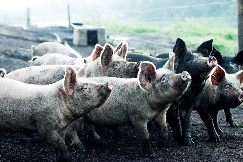 エレゾ社にいる豚達