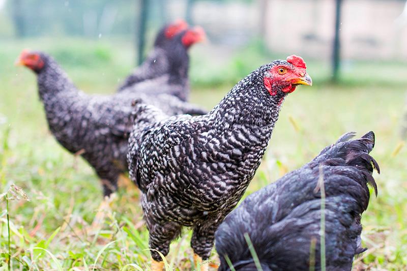 エレゾ社にいる鶏達